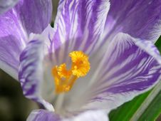 Free Stripped Crocus Stock Photos - 687543