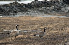 Free Canadian Geese Stock Image - 687961