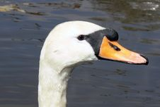 Free Swan Head Royalty Free Stock Photography - 688017