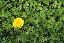 Free Dandelion And Trefoil Stock Image - 688071