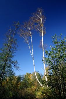 Free Birch. Stock Photos - 688253