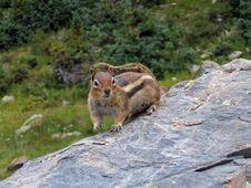Small Chipmunk