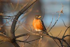Free Blackbird Of America Royalty Free Stock Photos - 689628
