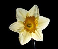 Free Daffodil Stock Image - 689671