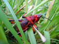Free Red Grasshopper Clinging Royalty Free Stock Image - 6803086