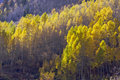 Free Aspen Pines Changing Color Stock Photography - 6804952