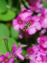 Free Hoverfly Royalty Free Stock Image - 6807556