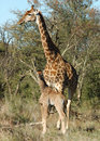Free Female Giraffe In Africa With A Calf. Royalty Free Stock Photo - 6807785