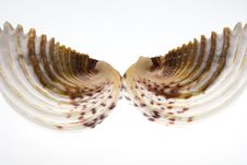 Free Conch Shell Royalty Free Stock Photography - 6800107