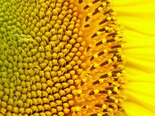 Free A Sunflower Flowers. Stock Photography - 6800282