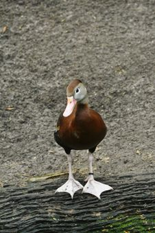 Free Brown Duck Stock Image - 6800531