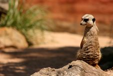 Free Meerkat On Lookout Royalty Free Stock Photography - 6800817