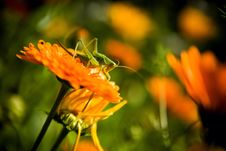 Free Green Grasshopper On Flower Stock Images - 6802674