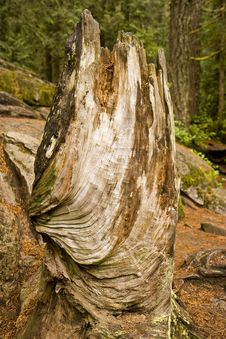 Free Twisted Stump Royalty Free Stock Photos - 6802768