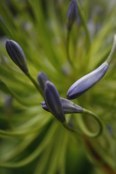Free Agapanthus Close Up Of Purple Buds Stock Image - 6802841