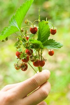 Free Red Wild Strawberries Stock Photos - 6803713