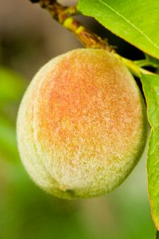 Free Peach On A Tree Branch Stock Image - 6803731