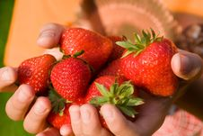 Free Strawberries In A Child S Hands Royalty Free Stock Image - 6803746