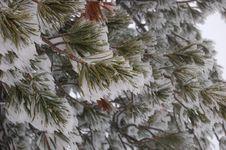 Free Icy Needles Stock Image - 6803791