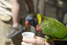 Free Feeding A Parakeet Royalty Free Stock Photos - 6804098
