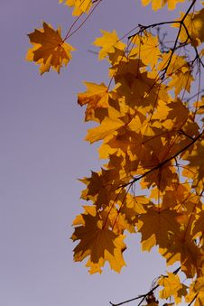 Free Yellow Leafs Of Maple Royalty Free Stock Image - 6804196