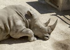 Free Sleeping Rhino Stock Image - 6804281