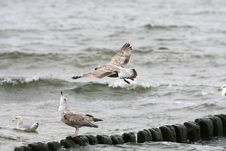 Free Seagull Flying Stock Images - 6804404