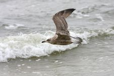 Free Seagull In The Air Royalty Free Stock Photography - 6804437