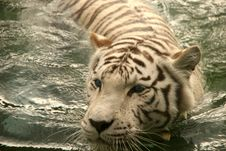 Free White Tiger Royalty Free Stock Images - 6804709