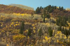 Free Colorful Aspen Pines Royalty Free Stock Image - 6804766