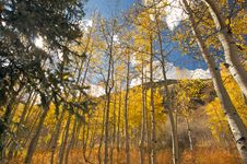Free Colorful Aspen Pines Royalty Free Stock Image - 6804786