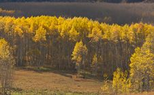 Free Aspen Pines Changing Color Stock Photos - 6804893