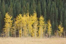 Free Aspen Pines Changing Color Royalty Free Stock Image - 6804926