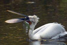 Free Pelican Royalty Free Stock Photos - 6805098