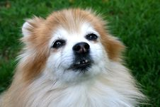 Free Pomeranian With Crooked Teeth Stock Image - 6805291