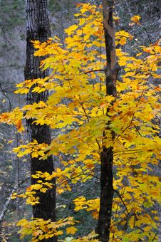Free Yellow Tree Fall Colors Stock Photos - 6805933