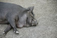 Free Sleeping Sow Royalty Free Stock Photo - 6806215