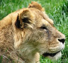 Free Lion Stock Images - 6806664
