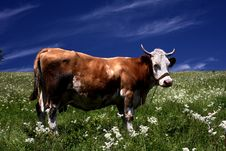 Free Cow On The Meadow Stock Images - 6806994
