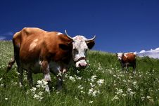Free Two Cow On The Meadow Royalty Free Stock Image - 6807066