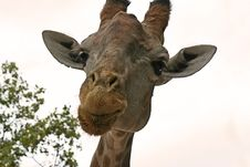 Free Giraffe Stock Photography - 6807202