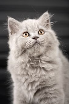 British Kitten Looking Up Over Black Background Stock Photography