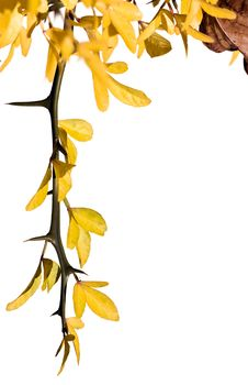 Free Sprig With Yellow Leaves Royalty Free Stock Photo - 6808245