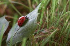 Free Ladybug Royalty Free Stock Photo - 6808765