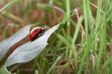 Free Ladybug Royalty Free Stock Photography - 6808777