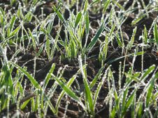 Free Wheat Seedlings Stock Images - 6808954