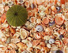 Free Sea Urchin And Seashells Stock Photo - 6809990