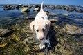 Free Labrador Retriever Royalty Free Stock Image - 6816866