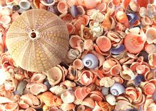 Free Sea Urchin And Seashells Royalty Free Stock Image - 6810026