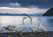 Free Geeses Near The Lake Stock Photography - 6810142